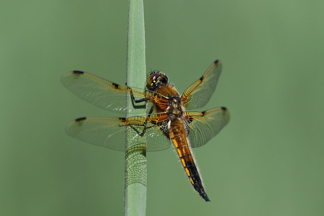 Four-spotted Chaser  ~ Libellula quadrimaculata