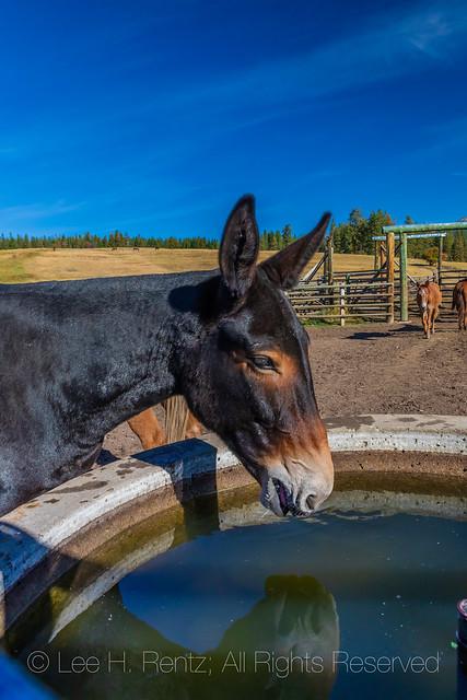Mule Drinking at Ninemile Ranger Station