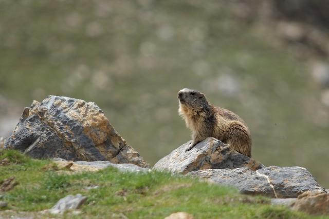 Marmota ( Explore 2/6/2021 )