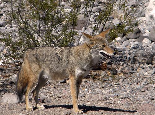 A coyote in Dunes in Death Valley Desert