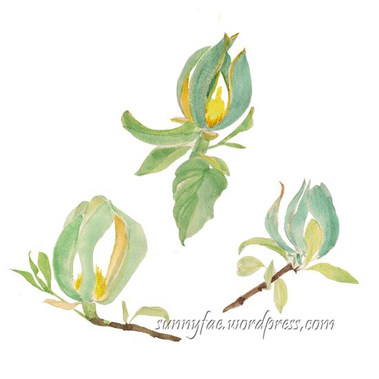 green magnolia watercolour sketch