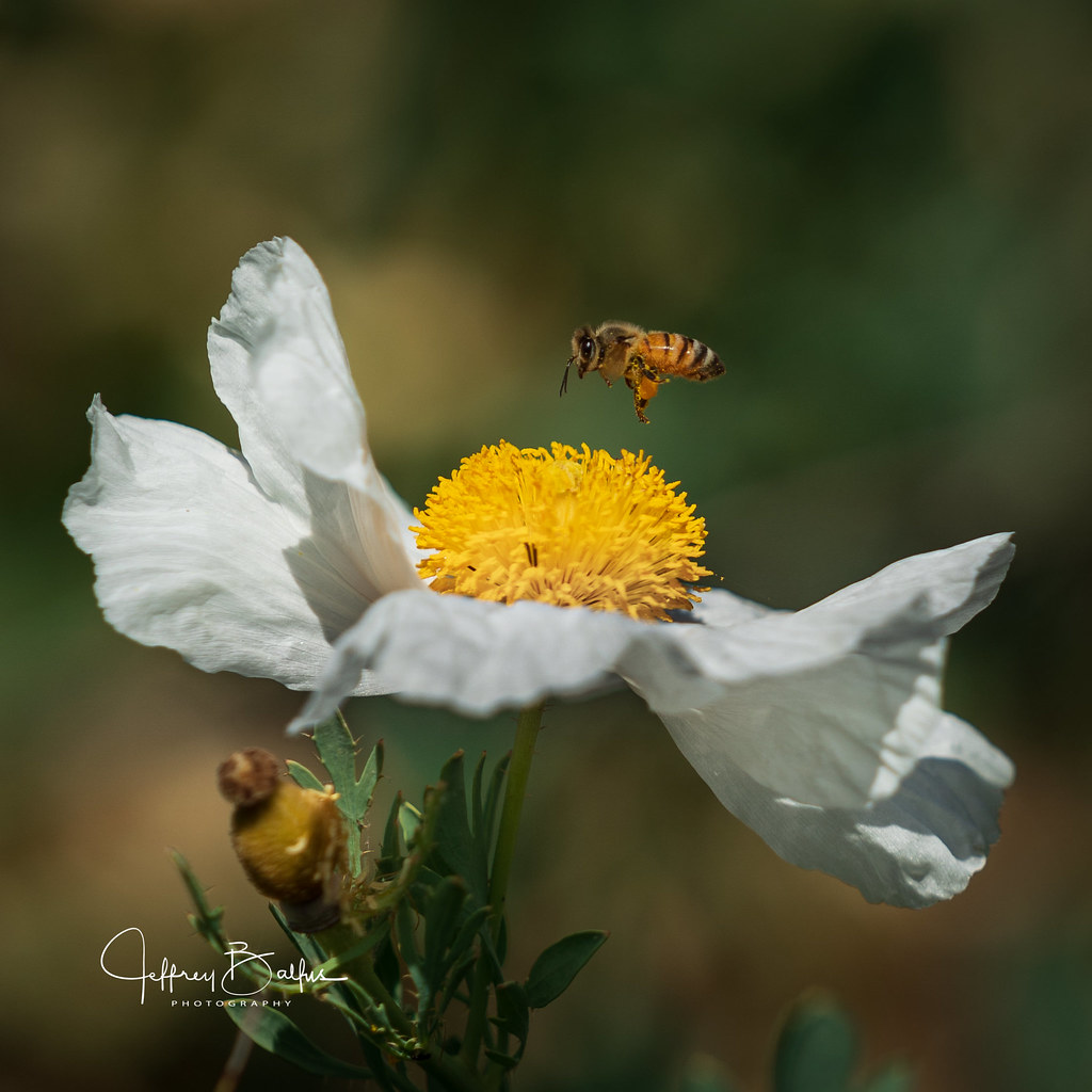 Matilija Poppy  with Bee-942204