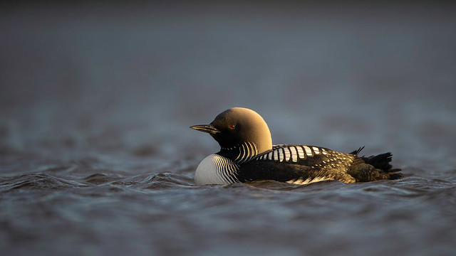 Side Lit Pacific Loon