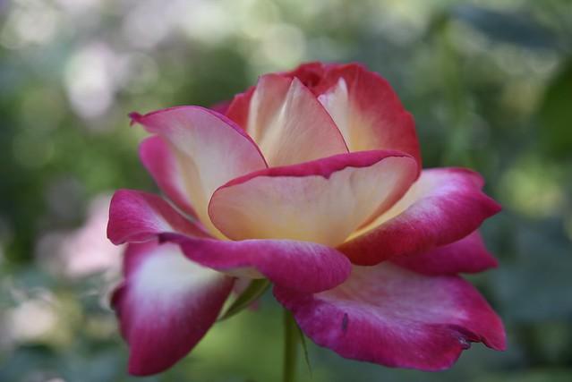 Rose Garden その2