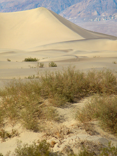 Sage brush and tumbleweed in front of golden sand dunes in Death Valley Desert