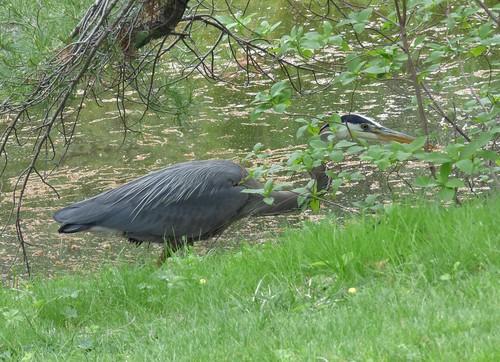 Skulking Great Blue Heron