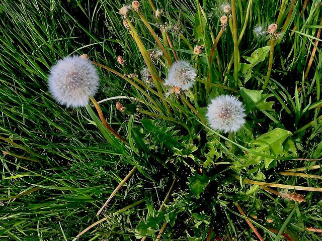 #wildflowers #Löwenzahn