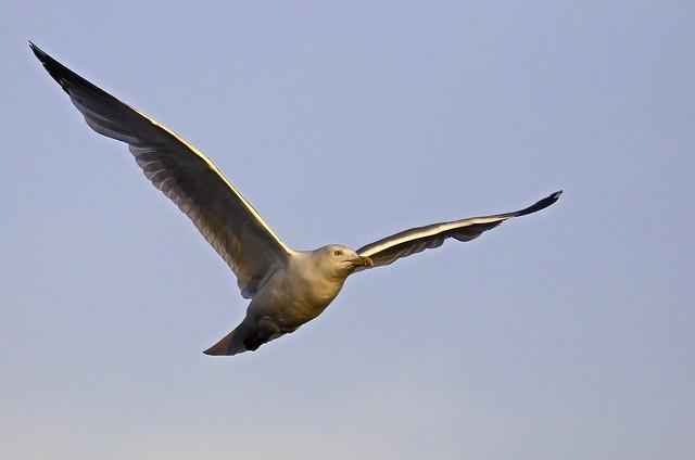 Gloaming Gull