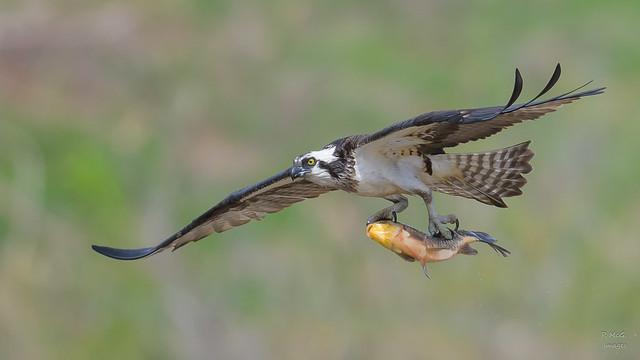 Osprey  8887