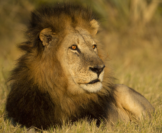 The quintessential dominant black mained lion portrait taken in the 'golden hour'