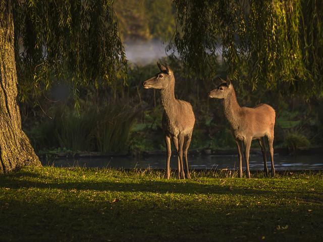 Morning light at Bushy Park
