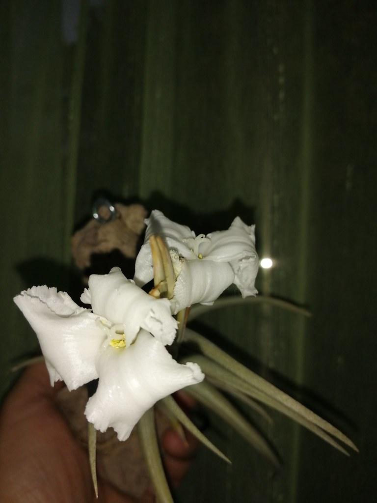 Tillandsia xiphioides