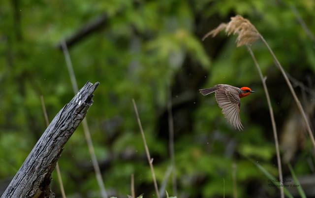 Moucherolle Vermillon -  Scarlet Flycatcher - Pyrocephalus Rubinus