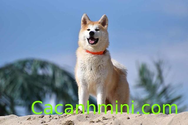 Cách nuôi chó Akita báu vật của xứ sở hoa anh đào