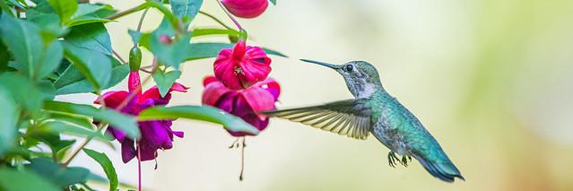 Anna'a Hummingbird