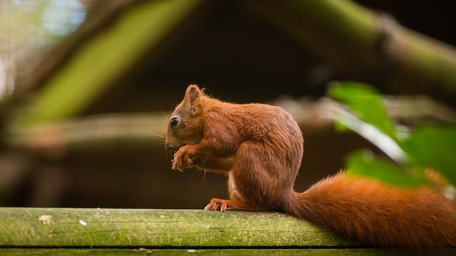 Feeding Red Squirrel