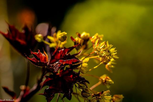 Die Blüten vom Kanadischen Ahorn