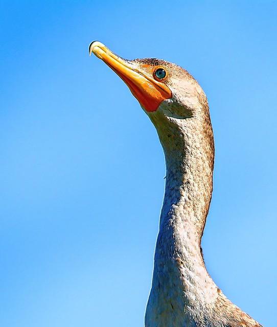Female Double Crested Cormorant