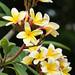White to Yellow Plumeria
