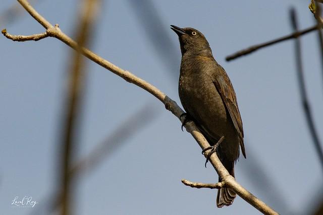1.30218 Quiscale rouilleux / Euphagus carolinus carolinus / Rusty Blackbird