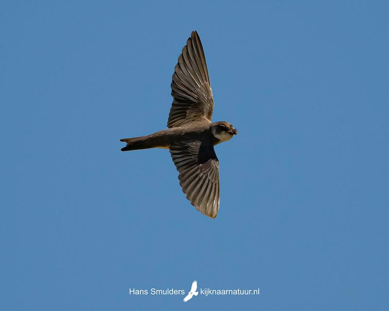 oeverzwaluw (Riparia riparia)-850_3408