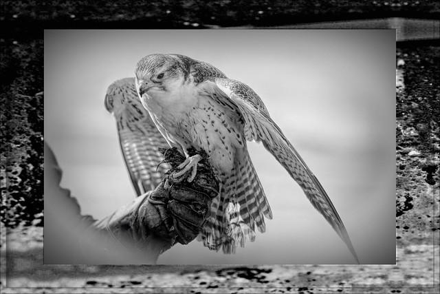 A Lanner Secard Falcon Feasts