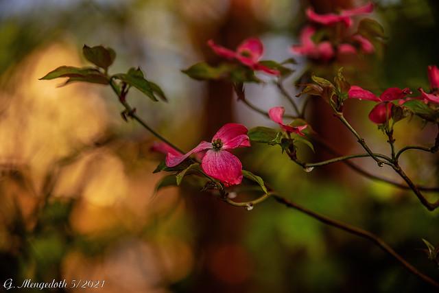Blumenhartriegel (Cornus florida)