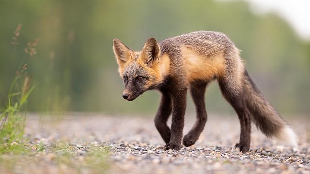Ramblin' Fox