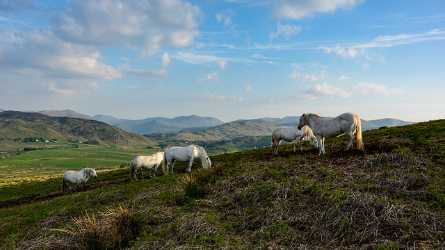 Fell ponies settling down for the night - Explored