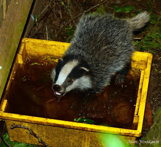 Badger cub having a bath and drink !
