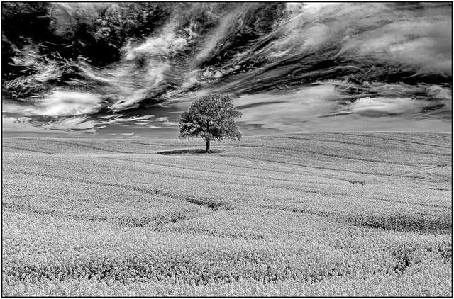 Tree in the rapeseed field in BW
