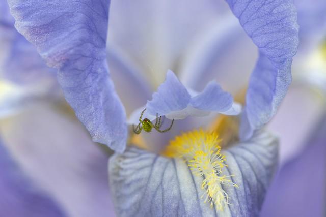 *Summer is ... when the irises bloom in the garden*