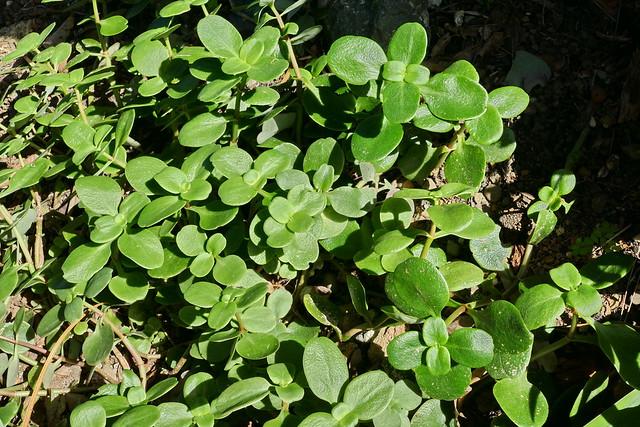 Crassula multicava ssp. multicava