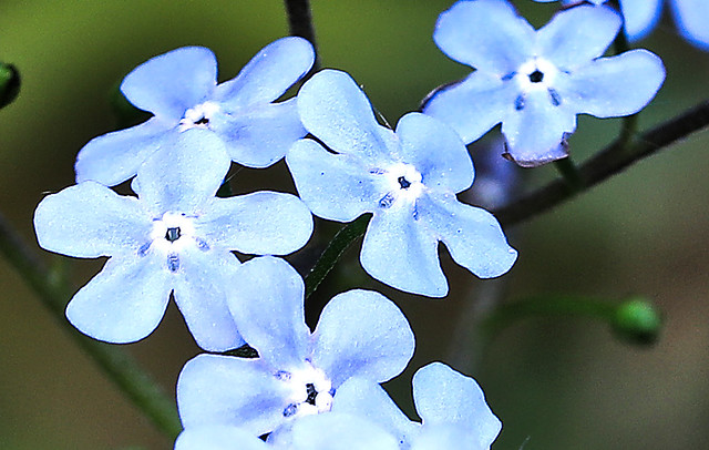 20210601_Forget-me-nots