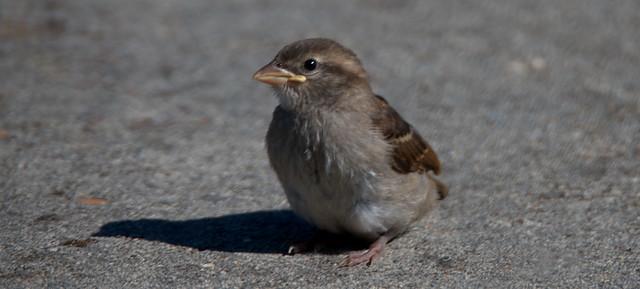 A Little Sparrow