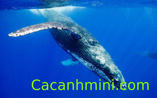Khám phá cá Voi Xanh động vật lớn nhất hành tinh