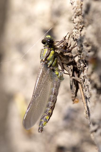 Common Clubtail ♂ Gomphus vulgatissimus