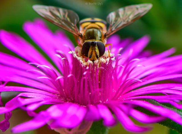 Epistrophe eligans - la mosca che sembra un'ape