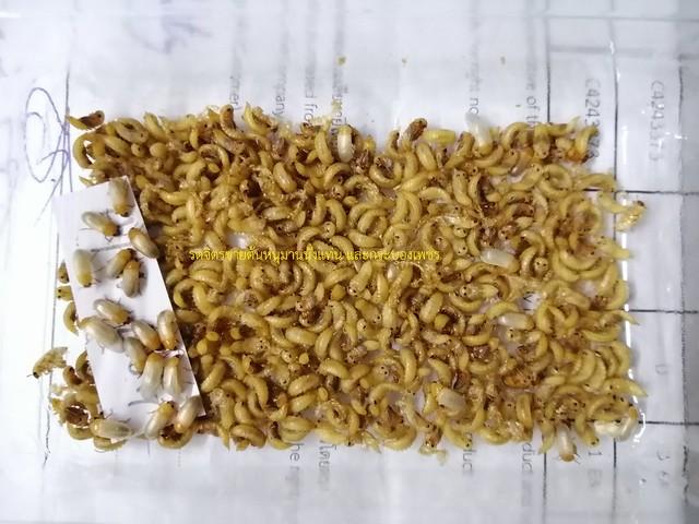 ดักแด้แมลงกระดิ่งเงินกระดิ่งทอง