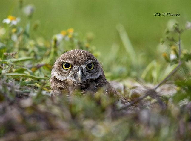 Owlet by nest
