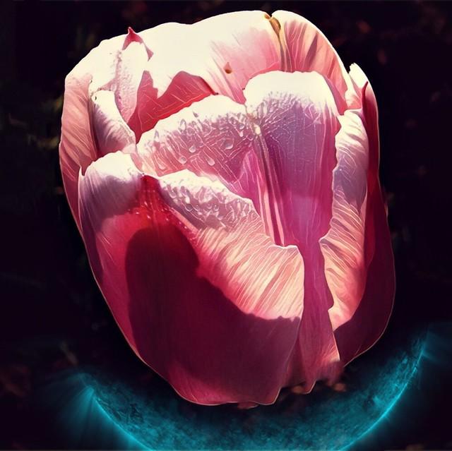 Toronto Ontario ~ Canada ~ Edwards Gardens ~ Botanical Garden - Pink Tulip Water Droplets