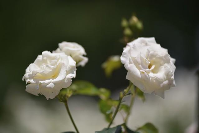 Rose Garden その3