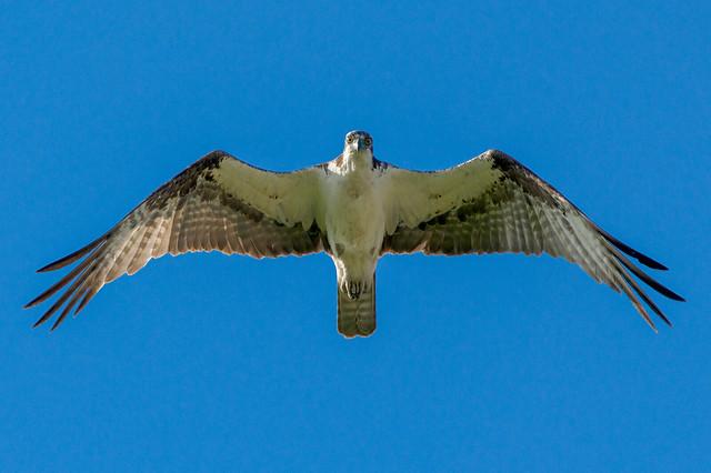 Hungry Osprey   Eye Contact   Pandion haliaetus