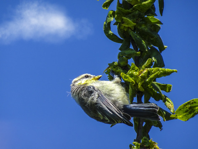 Junge Blaumeise / Young blue titmouse
