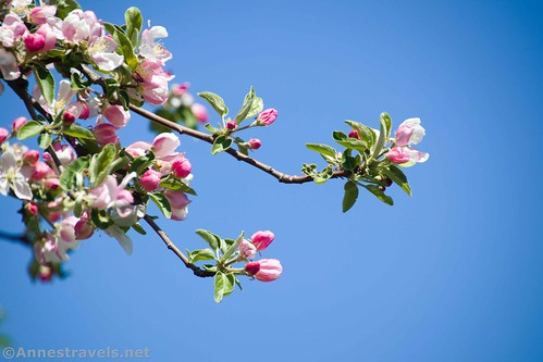 Apple blossoms, Clarence Pathways, New York