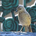 Curve-billed Thrasher Youngster