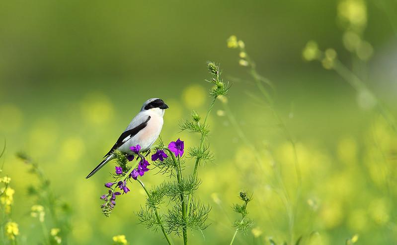 Lesser Grey Shrike - missed off Romania 2014 trip