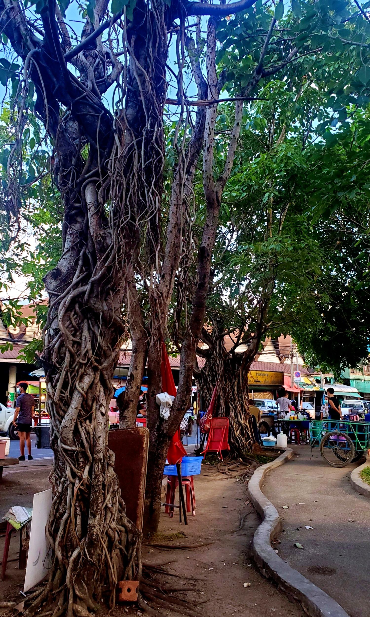 Chiang Mai trees