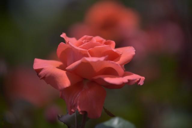 Rose Garden #3