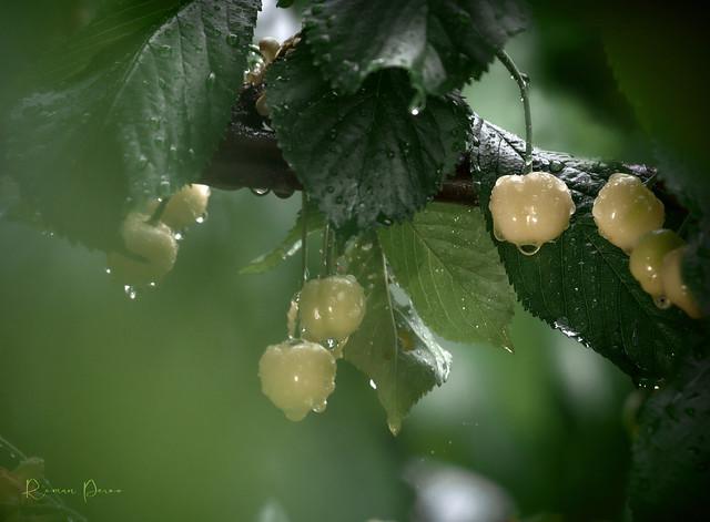 Yellow Sweet cherry